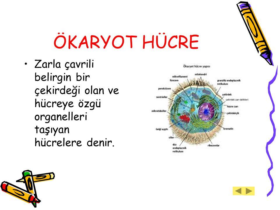 ÖKARYOT HÜCRE Zarla çavrili belirgin bir çekirdeği olan ve hücreye özgü organelleri taşıyan hücrelere denir.