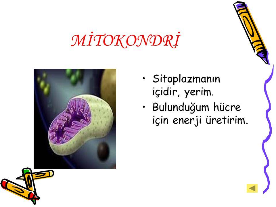 MİTOKONDRİ Sitoplazmanın içidir, yerim. Bulunduğum hücre için enerji üretirim.