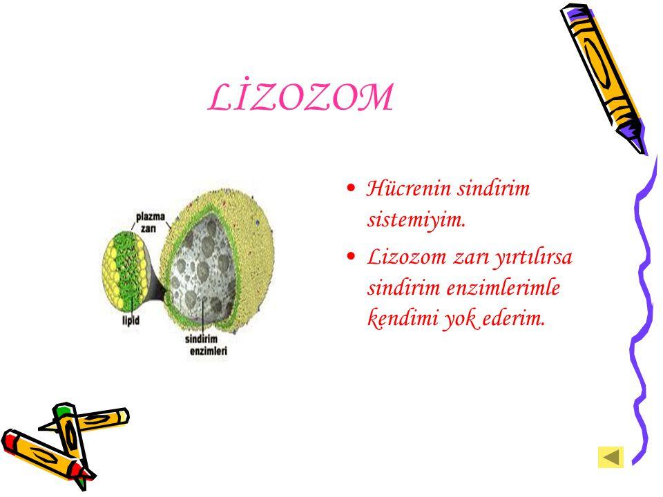 LİZOZOM Hücrenin sindirim sistemiyim. Lizozom zarı yırtılırsa sindirim enzimlerimle kendimi yok ederim.