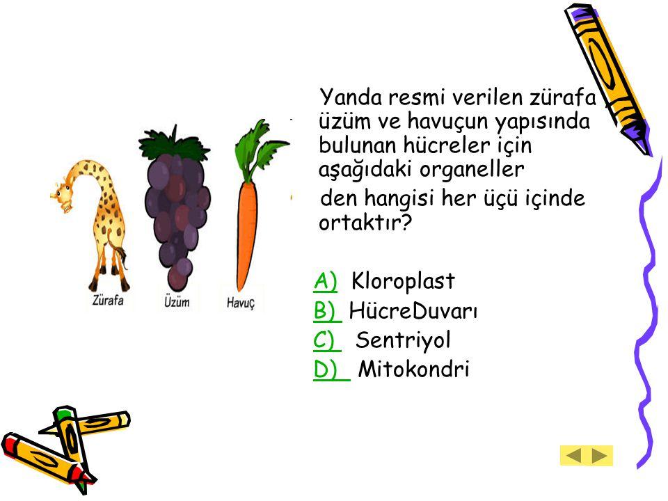 Yanda resmi verilen zürafa, üzüm ve havuçun yapısında bulunan hücreler için aşağıdaki organeller den hangisi her üçü içinde ortaktır? A) Kloroplast A)