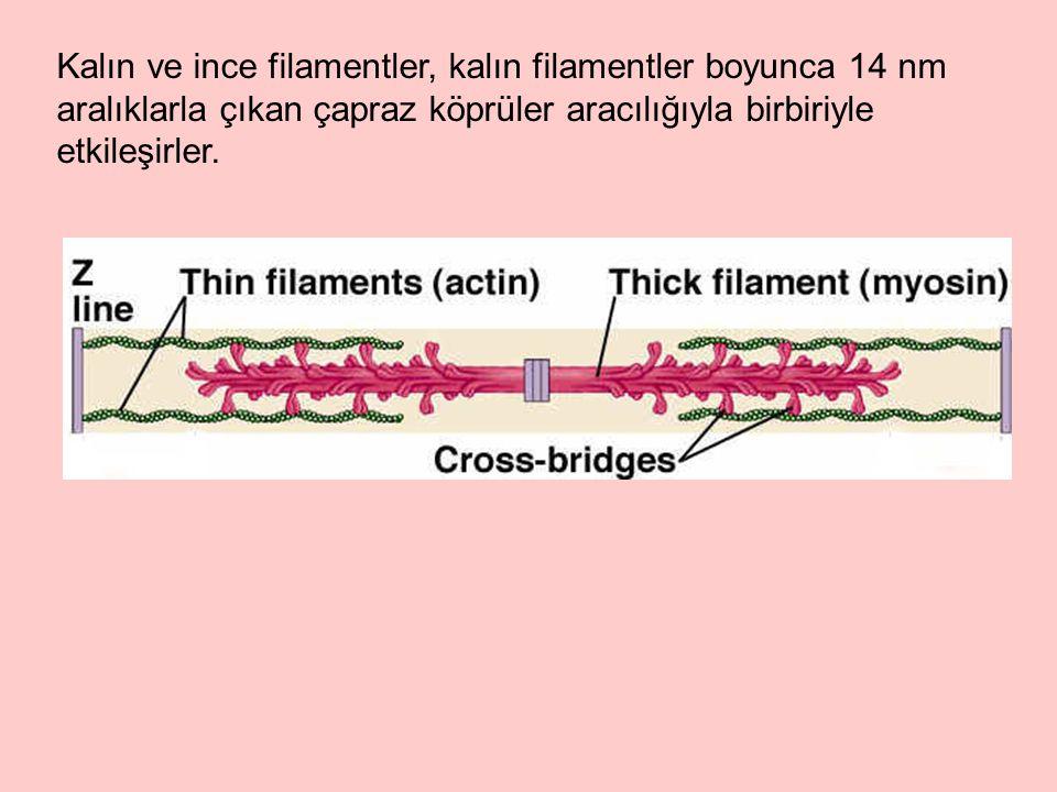 Kalın ve ince filamentler, kalın filamentler boyunca 14 nm aralıklarla çıkan çapraz köprüler aracılığıyla birbiriyle etkileşirler.