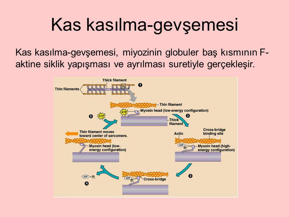 Kas kasılma-gevşemesi, miyozinin globuler baş kısmının F- aktine siklik yapışması ve ayrılması suretiyle gerçekleşir.
