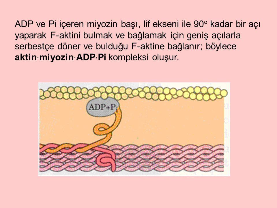 ADP ve Pi içeren miyozin başı, lif ekseni ile 90 o kadar bir açı yaparak F-aktini bulmak ve bağlamak için geniş açılarla serbestçe döner ve bulduğu F-aktine bağlanır; böylece aktin  miyozin  ADP  Pi kompleksi oluşur.