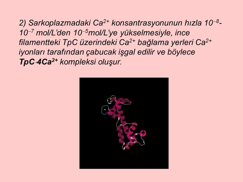 2) Sarkoplazmadaki Ca 2+ konsantrasyonunun hızla 10  8 - 10  7 mol/L'den 10  5 mol/L'ye yükselmesiyle, ince filamentteki TpC üzerindeki Ca 2+ bağlama yerleri Ca 2+ iyonları tarafından çabucak işgal edilir ve böylece TpC  4Ca 2+ kompleksi oluşur.