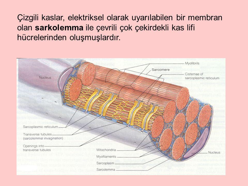 Düz kaslarda troponin sistemleri yoktur ve miyozin moleküllerinin hafif zincirleri çizgili kas miyozonininkinden farklıdır.