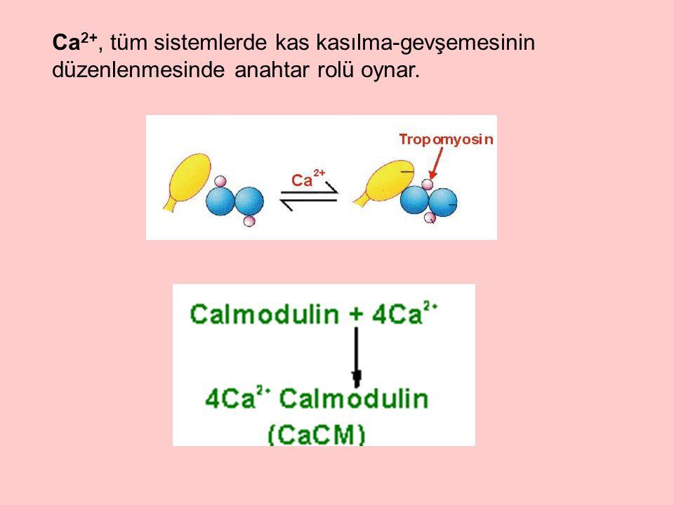 Ca 2+, tüm sistemlerde kas kasılma-gevşemesinin düzenlenmesinde anahtar rolü oynar.