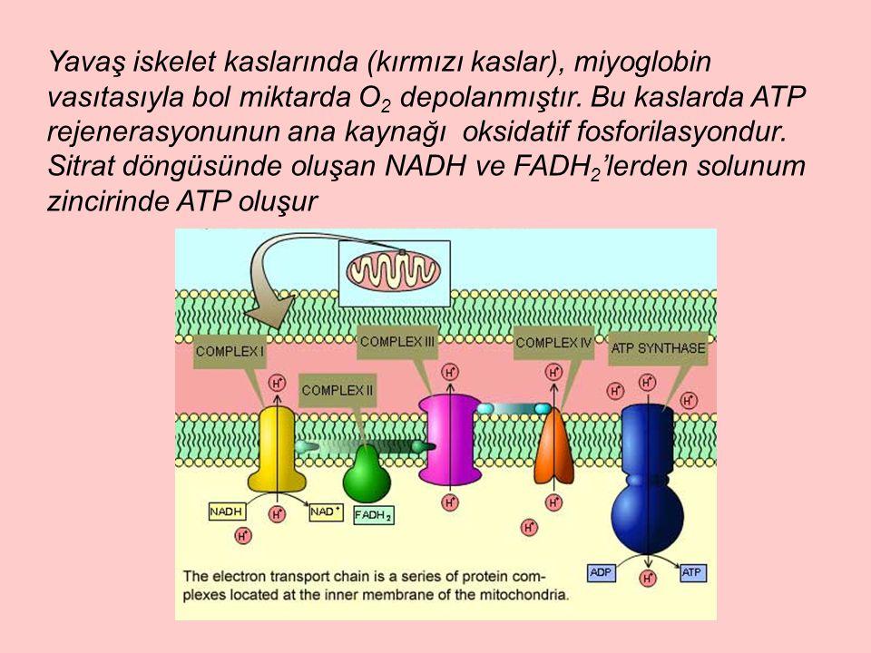 Yavaş iskelet kaslarında (kırmızı kaslar), miyoglobin vasıtasıyla bol miktarda O 2 depolanmıştır.