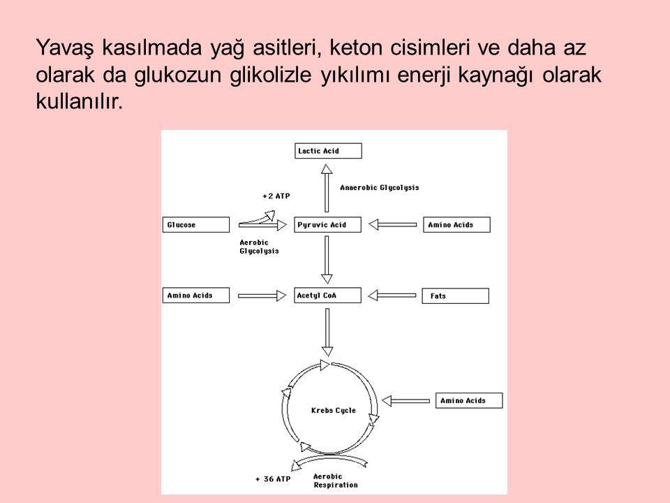 Yavaş kasılmada yağ asitleri, keton cisimleri ve daha az olarak da glukozun glikolizle yıkılımı enerji kaynağı olarak kullanılır.