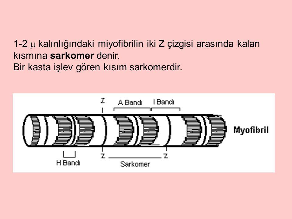 Her miyofibrilin uzunlamasına kalın filamentler ve ince filamentler olmak üzere iki tip filamentten oluştuğu anlaşılmaktadır