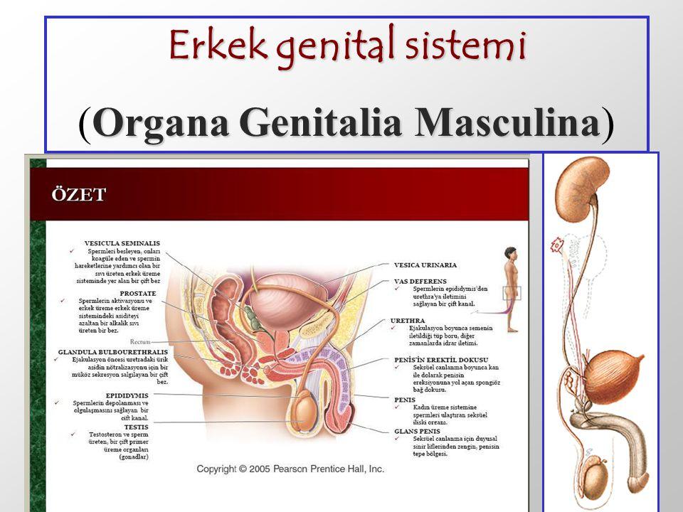 Erkek genital sistemi Organa Genitalia Masculina (Organa Genitalia Masculina)