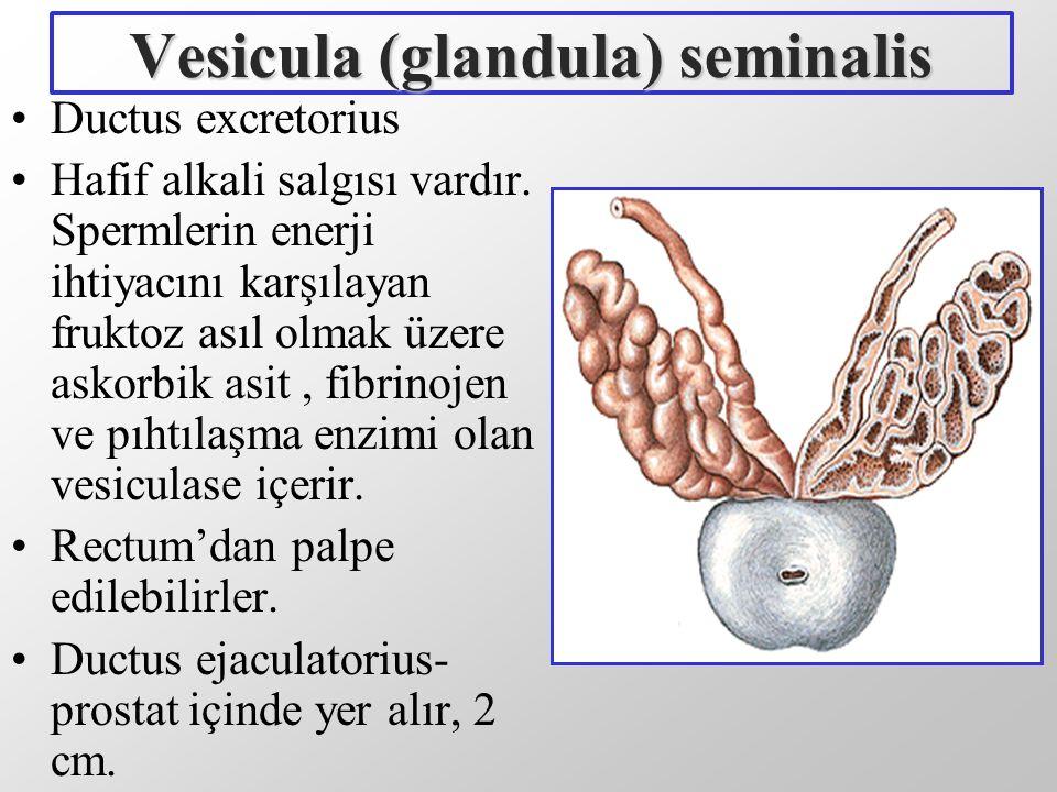 Vesicula (glandula) seminalis Ductus excretorius Hafif alkali salgısı vardır. Spermlerin enerji ihtiyacını karşılayan fruktoz asıl olmak üzere askorbi