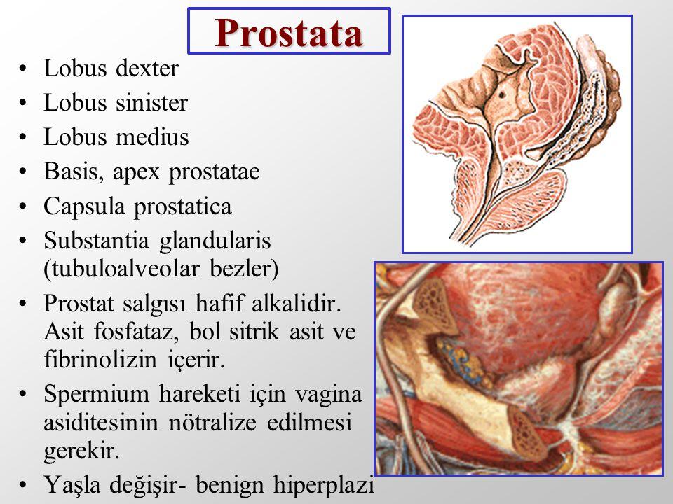 Prostata Lobus dexter Lobus sinister Lobus medius Basis, apex prostatae Capsula prostatica Substantia glandularis (tubuloalveolar bezler) Prostat salg