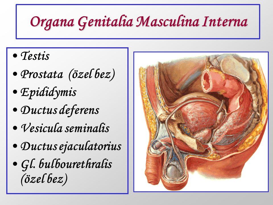 Organa Genitalia Masculina Interna Testis Prostata (özel bez) Epididymis Ductus deferens Vesicula seminalis Ductus ejaculatorius Gl. bulbourethralis (