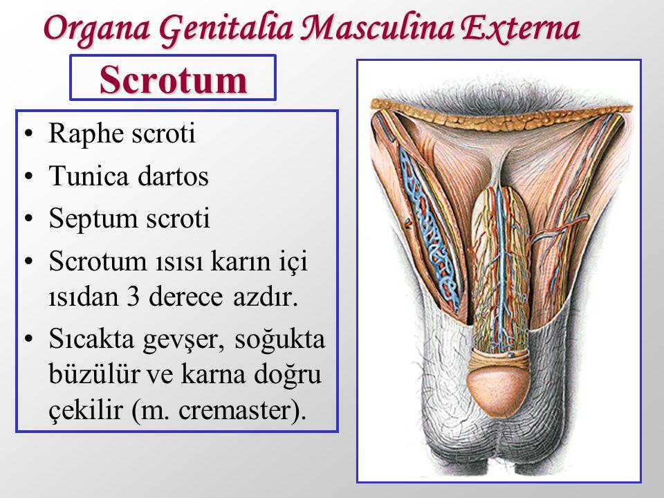 Scrotum Raphe scroti Tunica dartos Septum scroti Scrotum ısısı karın içi ısıdan 3 derece azdır. Sıcakta gevşer, soğukta büzülür ve karna doğru çekilir