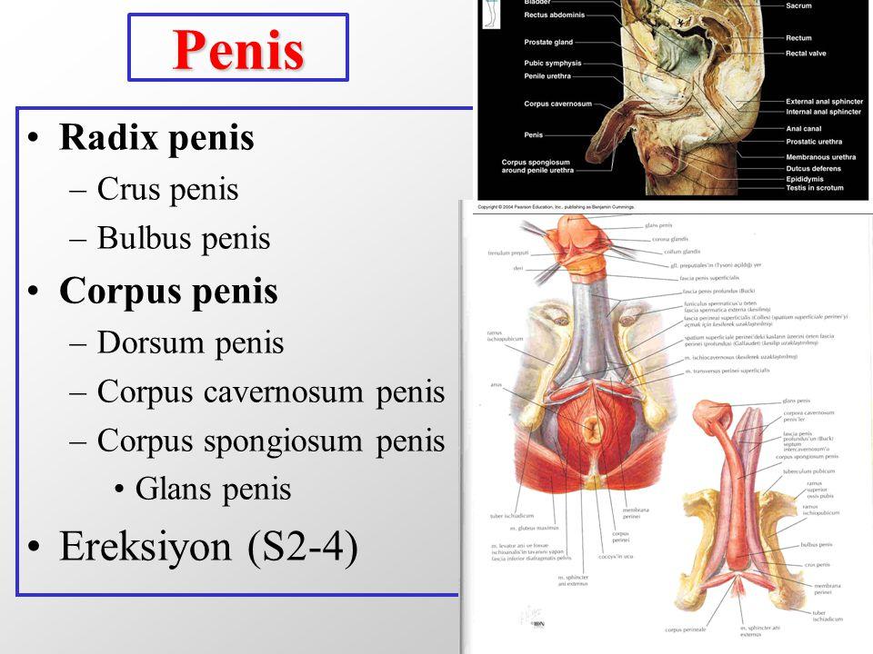 Penis Radix penis –Crus penis –Bulbus penis Corpus penis –Dorsum penis –Corpus cavernosum penis –Corpus spongiosum penis Glans penis Ereksiyon (S2-4)