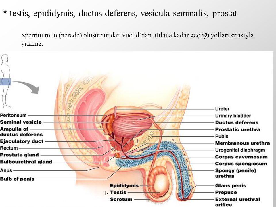 * testis, epididymis, ductus deferens, vesicula seminalis, prostat Spermiumun (nerede) oluşumundan vucud'dan atılana kadar geçtiği yolları sırasıyla y