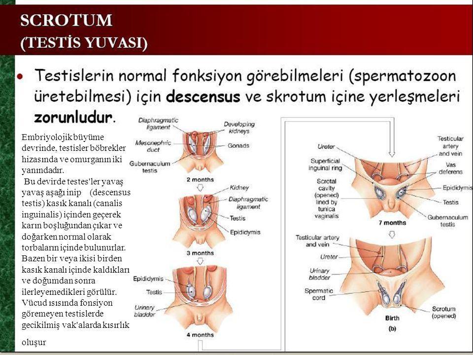 Embriyolojik büyüme devrinde, testisler böbrekler hizasında ve omurganın iki yanındadır. Bu devirde testes'ler yavaş yavaş aşağı inip (descensus testi