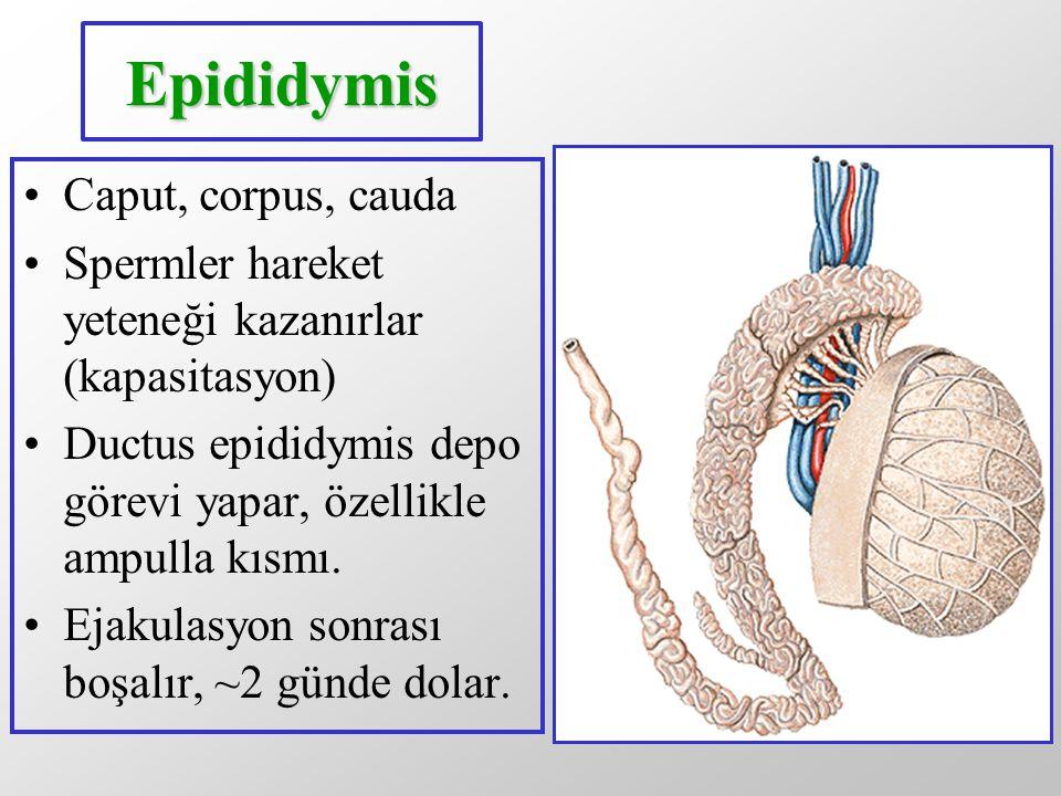 Epididymis Caput, corpus, cauda Spermler hareket yeteneği kazanırlar (kapasitasyon) Ductus epididymis depo görevi yapar, özellikle ampulla kısmı. Ejak