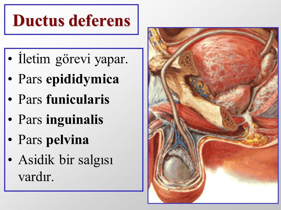 Ductus deferens İletim görevi yapar. Pars epididymica Pars funicularis Pars inguinalis Pars pelvina Asidik bir salgısı vardır.