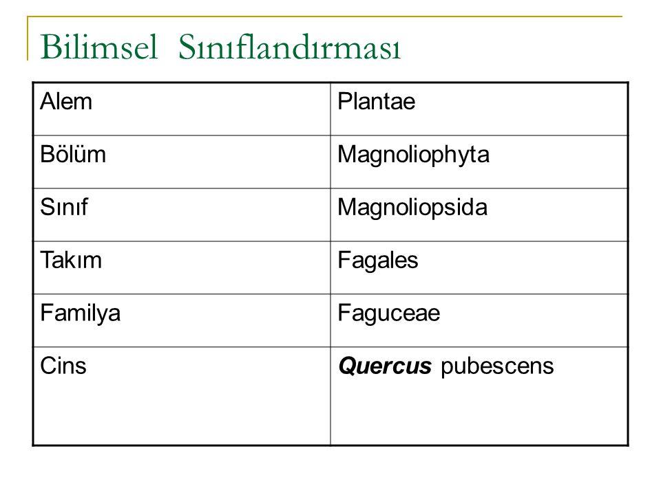 Bilimsel Sınıflandırması AlemPlantae BölümMagnoliophyta SınıfMagnoliopsida TakımFagales FamilyaFaguceae CinsQuercus pubescens