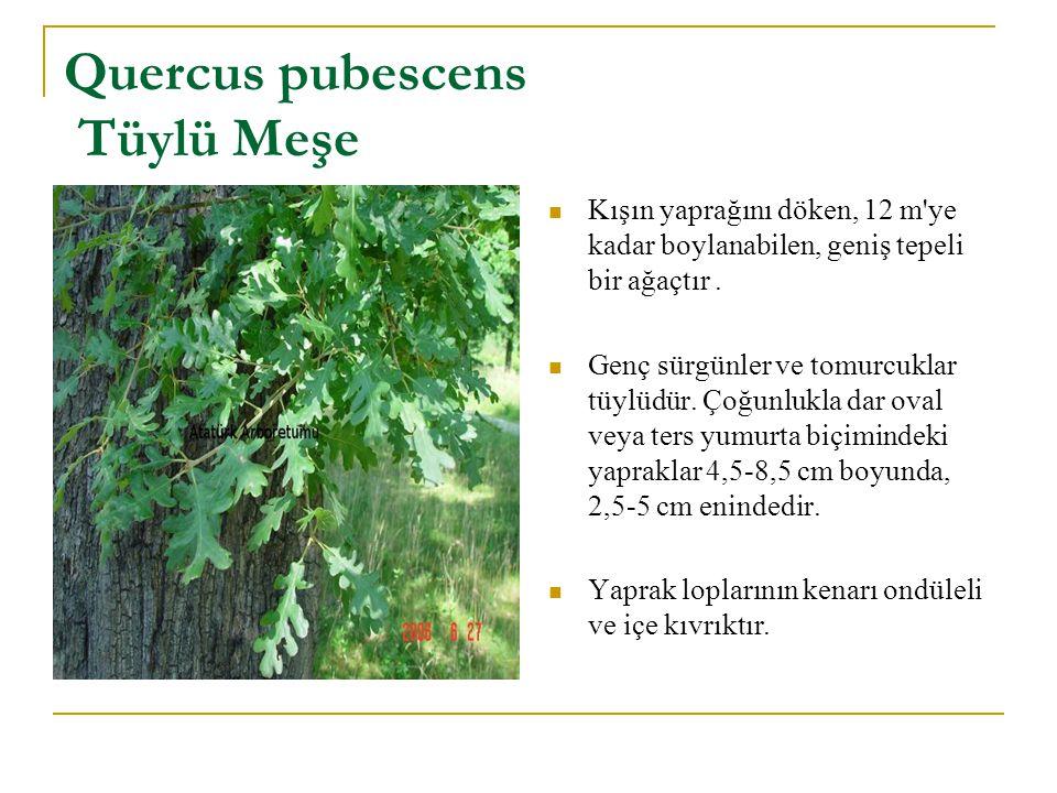Quercus pubescens Tüylü Meşe Kışın yaprağını döken, 12 m'ye kadar boylanabilen, geniş tepeli bir ağaçtır. Genç sürgünler ve tomurcuklar tüylüdür. Çoğu