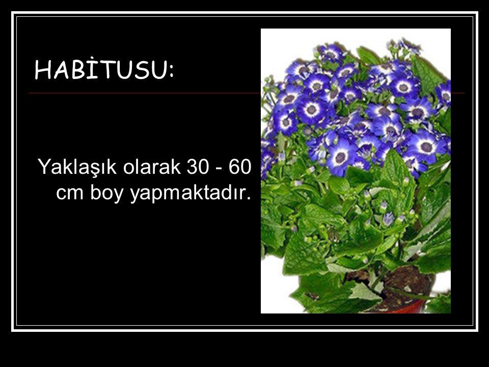 HABİTUSU: Yaklaşık olarak 30 - 60 cm boy yapmaktadır.