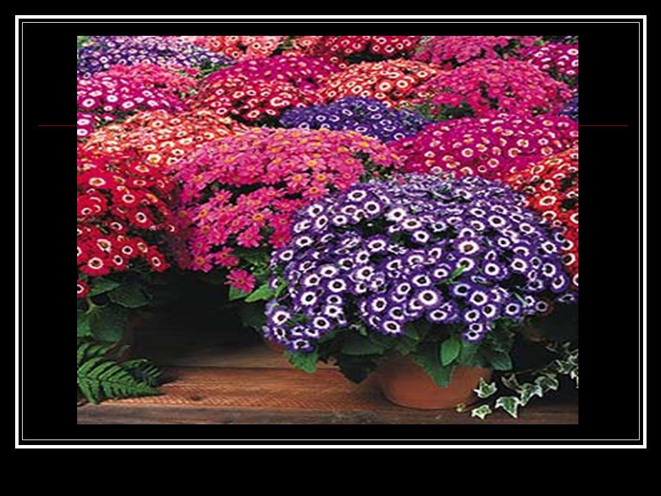 EKOLOJİK İSTEKLERİ: Sıcaklık:Bitkinin en iyi şekilde yetişebileceği minimum sıcaklık 25 derecedir.