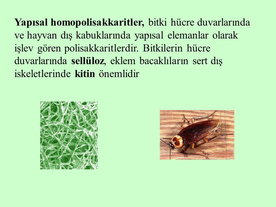 Yapısal homopolisakkaritler, bitki hücre duvarlarında ve hayvan dış kabuklarında yapısal elemanlar olarak işlev gören polisakkaritlerdir.