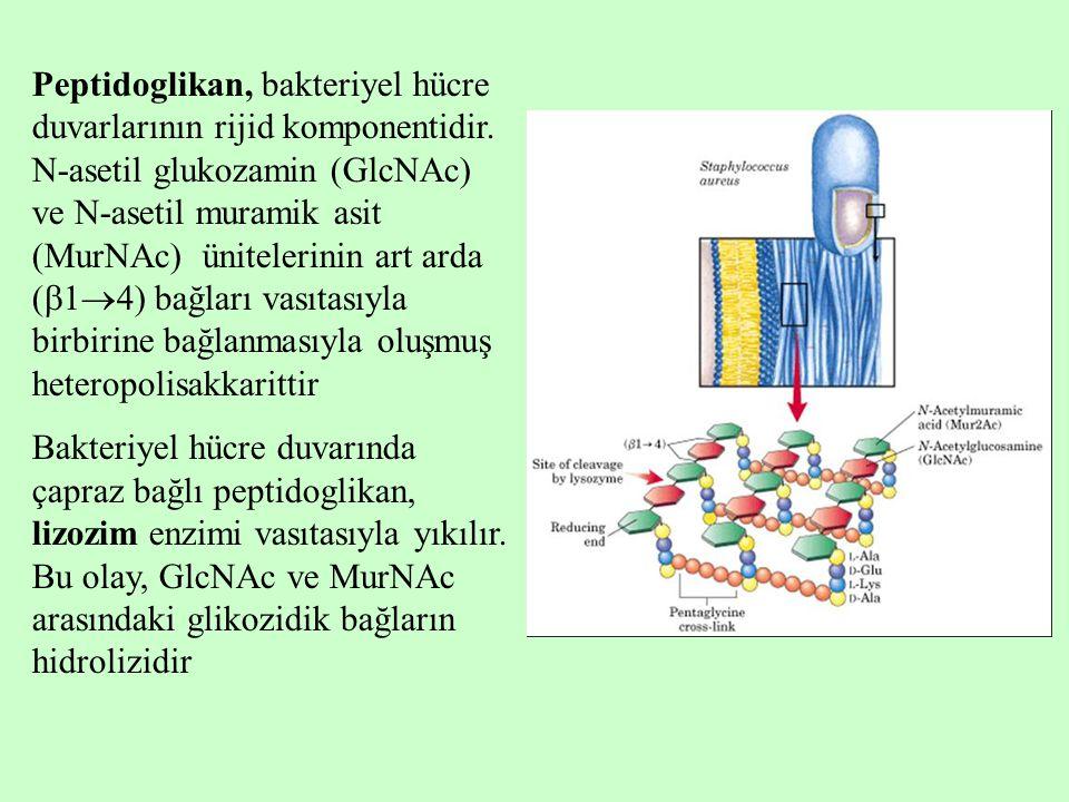 Peptidoglikan, bakteriyel hücre duvarlarının rijid komponentidir.