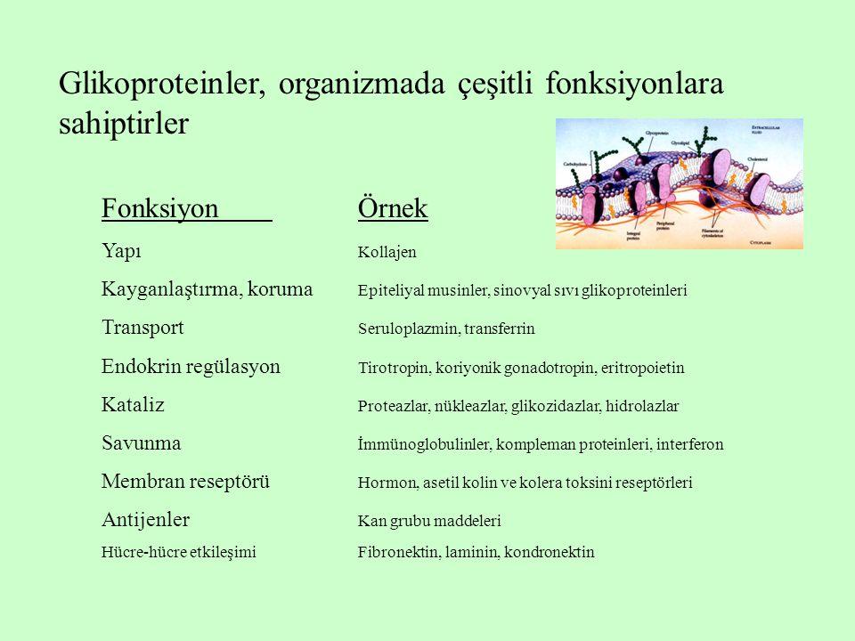 Glikoproteinler, organizmada çeşitli fonksiyonlara sahiptirler FonksiyonÖrnek Yapı Kollajen Kayganlaştırma, koruma Epiteliyal musinler, sinovyal sıvı glikoproteinleri Transport Seruloplazmin, transferrin Endokrin regülasyon Tirotropin, koriyonik gonadotropin, eritropoietin Kataliz Proteazlar, nükleazlar, glikozidazlar, hidrolazlar Savunma İmmünoglobulinler, kompleman proteinleri, interferon Membran reseptörü Hormon, asetil kolin ve kolera toksini reseptörleri Antijenler Kan grubu maddeleri Hücre-hücre etkileşimiFibronektin, laminin, kondronektin