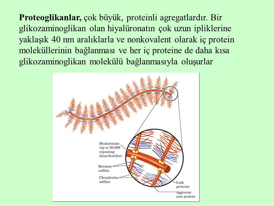 Proteoglikanlar, çok büyük, proteinli agregatlardır.