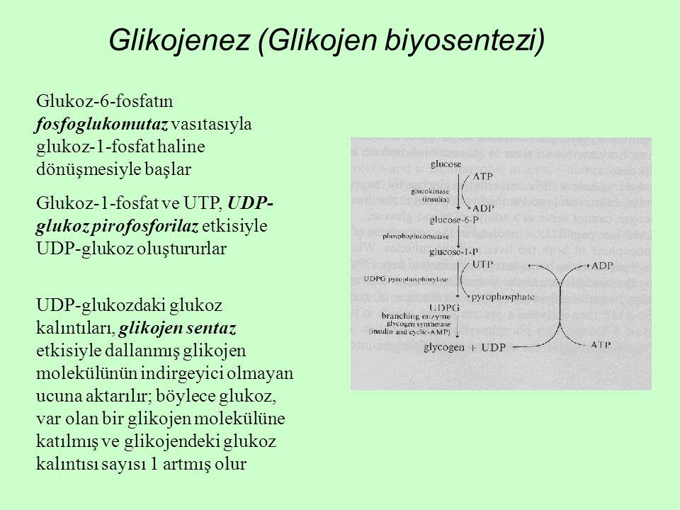 Glikojenez (Glikojen biyosentezi) Glukoz-6-fosfatın fosfoglukomutaz vasıtasıyla glukoz-1-fosfat haline dönüşmesiyle başlar Glukoz-1-fosfat ve UTP, UDP- glukoz pirofosforilaz etkisiyle UDP-glukoz oluştururlar UDP-glukozdaki glukoz kalıntıları, glikojen sentaz etkisiyle dallanmış glikojen molekülünün indirgeyici olmayan ucuna aktarılır; böylece glukoz, var olan bir glikojen molekülüne katılmış ve glikojendeki glukoz kalıntısı sayısı 1 artmış olur