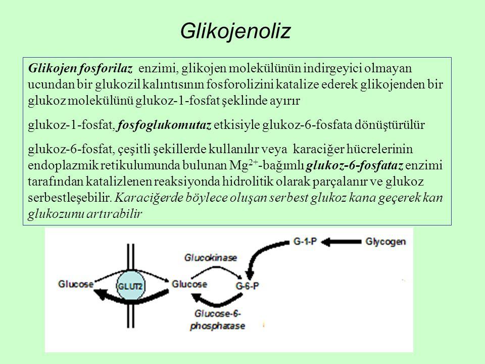 Glikojenoliz Glikojen fosforilaz enzimi, glikojen molekülünün indirgeyici olmayan ucundan bir glukozil kalıntısının fosforolizini katalize ederek glikojenden bir glukoz molekülünü glukoz-1-fosfat şeklinde ayırır glukoz-1-fosfat, fosfoglukomutaz etkisiyle glukoz-6-fosfata dönüştürülür glukoz-6-fosfat, çeşitli şekillerde kullanılır veya karaciğer hücrelerinin endoplazmik retikulumunda bulunan Mg 2+ -bağımlı glukoz-6-fosfataz enzimi tarafından katalizlenen reaksiyonda hidrolitik olarak parçalanır ve glukoz serbestleşebilir.