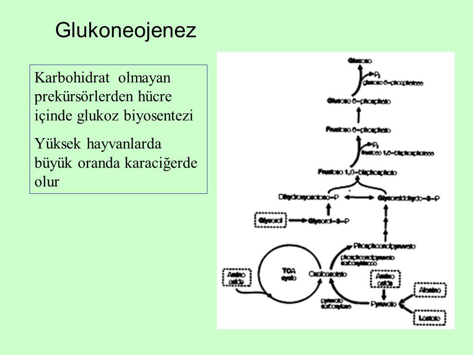 Glukoneojenez Karbohidrat olmayan prekürsörlerden hücre içinde glukoz biyosentezi Yüksek hayvanlarda büyük oranda karaciğerde olur
