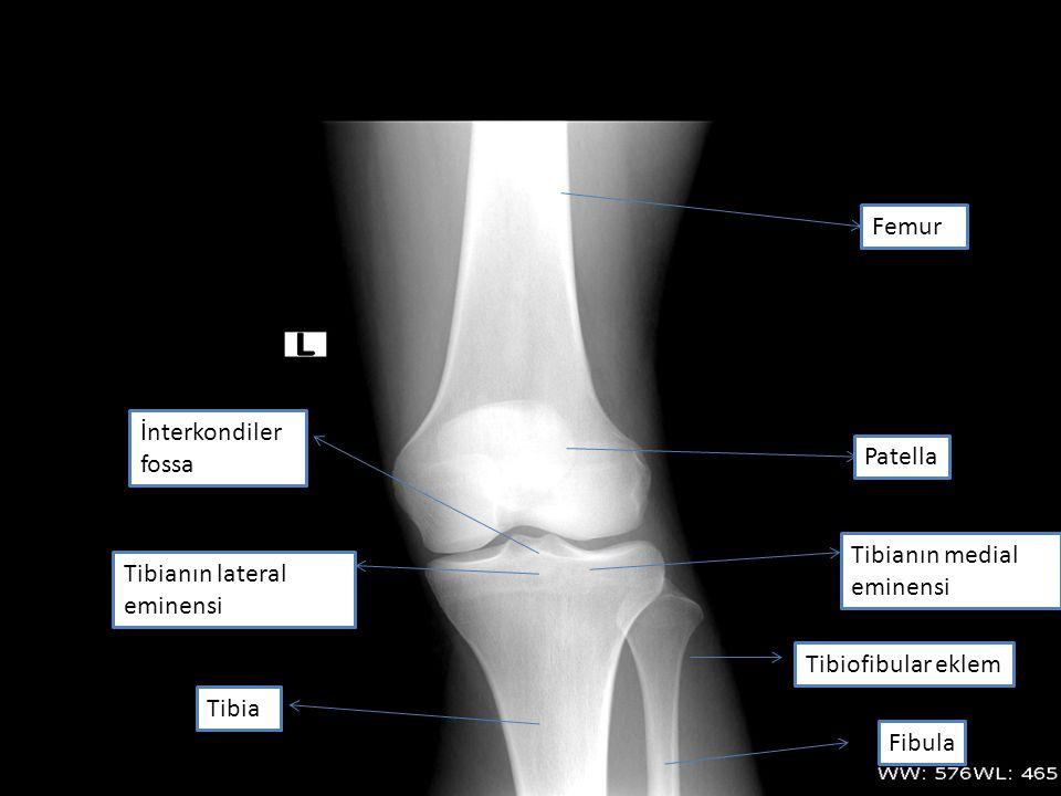 Femur Tibia Tibianın lateral eminensi Tibianın medial eminensi İnterkondiler fossa Patella Fibula Tibiofibular eklem