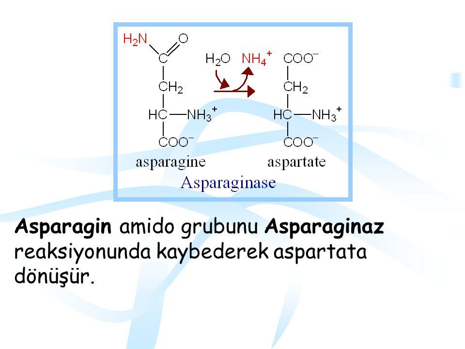Oksaloasetat ailesi Aspartat ve asparagin oksaloasetata dönüşürler Enzimler: Asparaginaz ve aspartat aminotransferaz (AST)