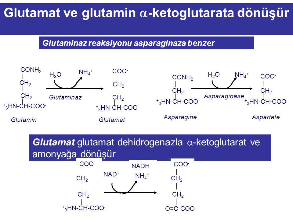  -keto glutarat ailesi Glutamin, Glutamat Prolin Arginin Histidin  -keto glutarata dönüşürler.