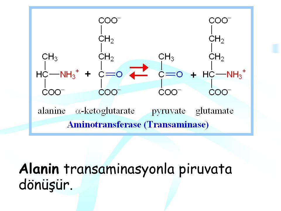 Piruvat Ailesi Alanin, Serin, Glisin, sistein, treonin (2C atomu) Triptofan (+Asetoasetil CoA) ve OH-prolin3C'lu keto asit olan piruvat oluşturur.