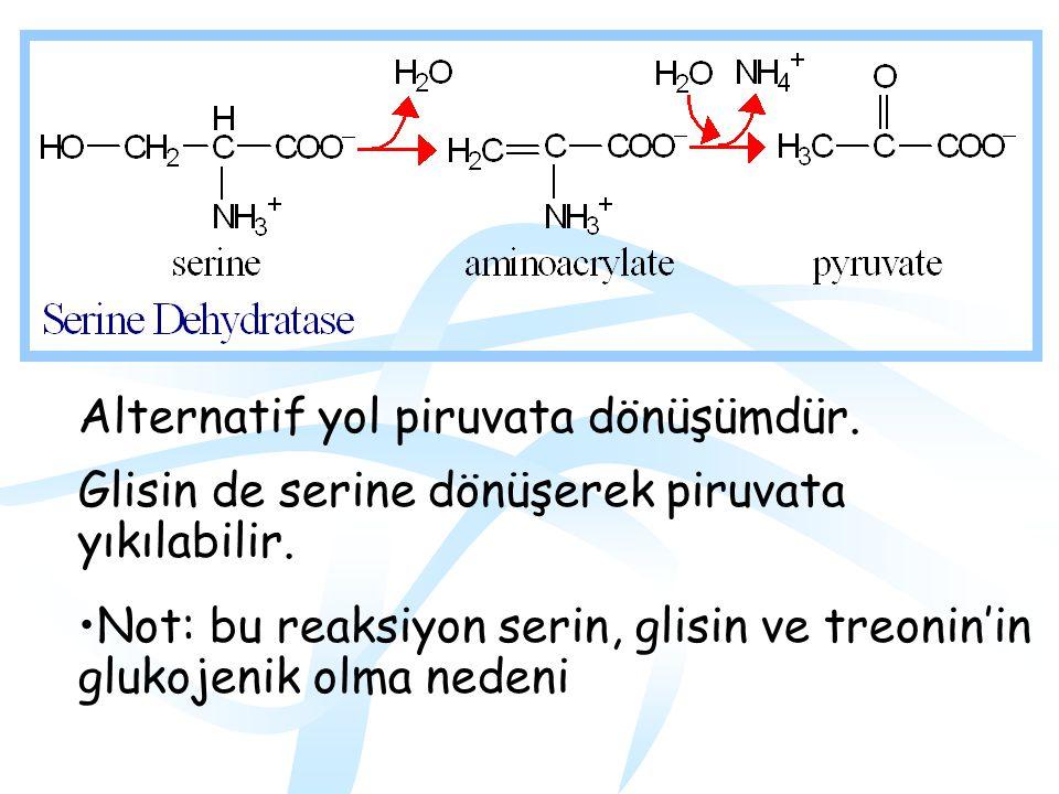 SERİN Serin için başlıca yıkım yolu glisine dönüşüm ile olur.