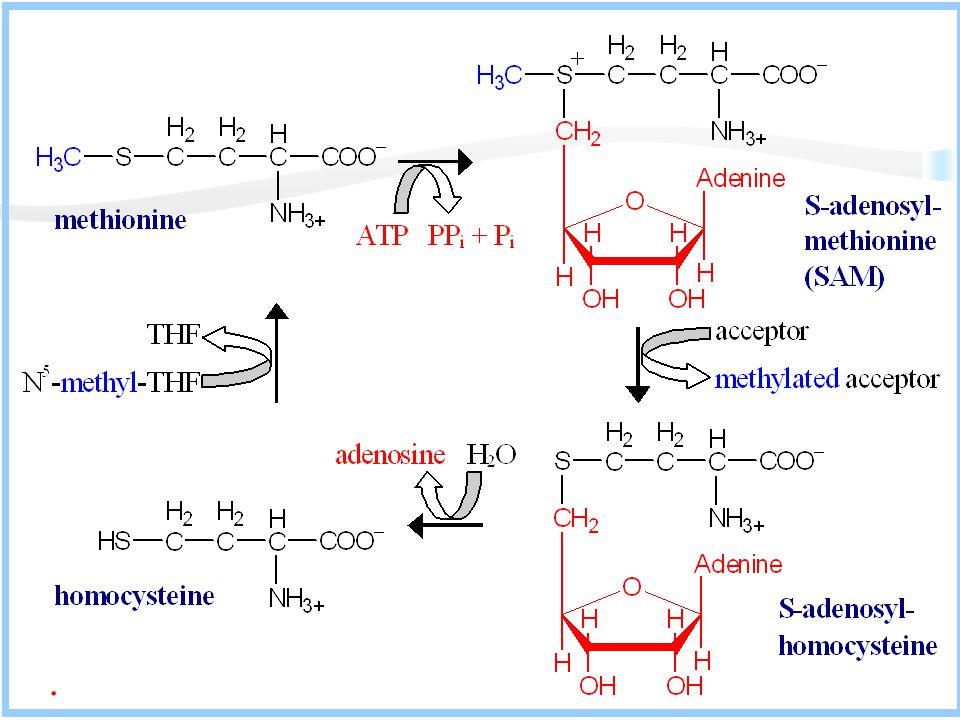 SAM aktif metionindir Metionin süksinil CoA ailesinin en önemli üyesidir.