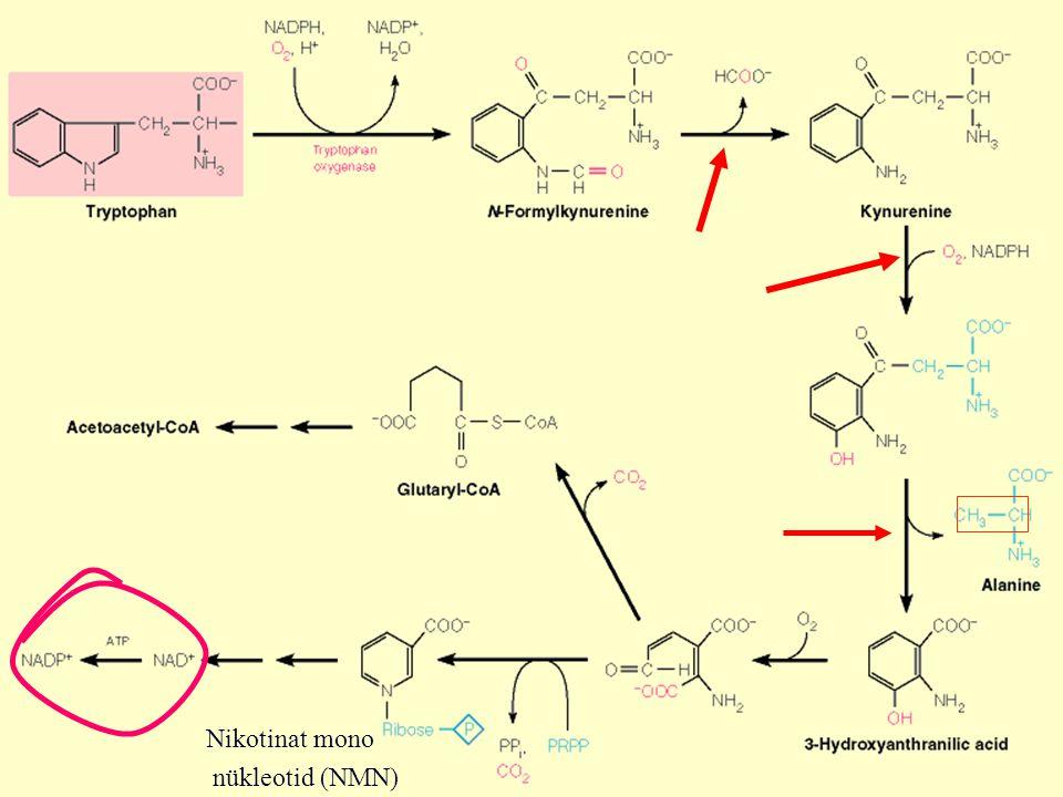 TriptofanN formil kinürenin Kinürenin OH-kinürenin OH-antranilat Alanin  -keto adipat Asetoasetil CoA PLP, Kinüreninaz Piruvat Ksantürenat ' Bir karbon' ünitesi ayrılır