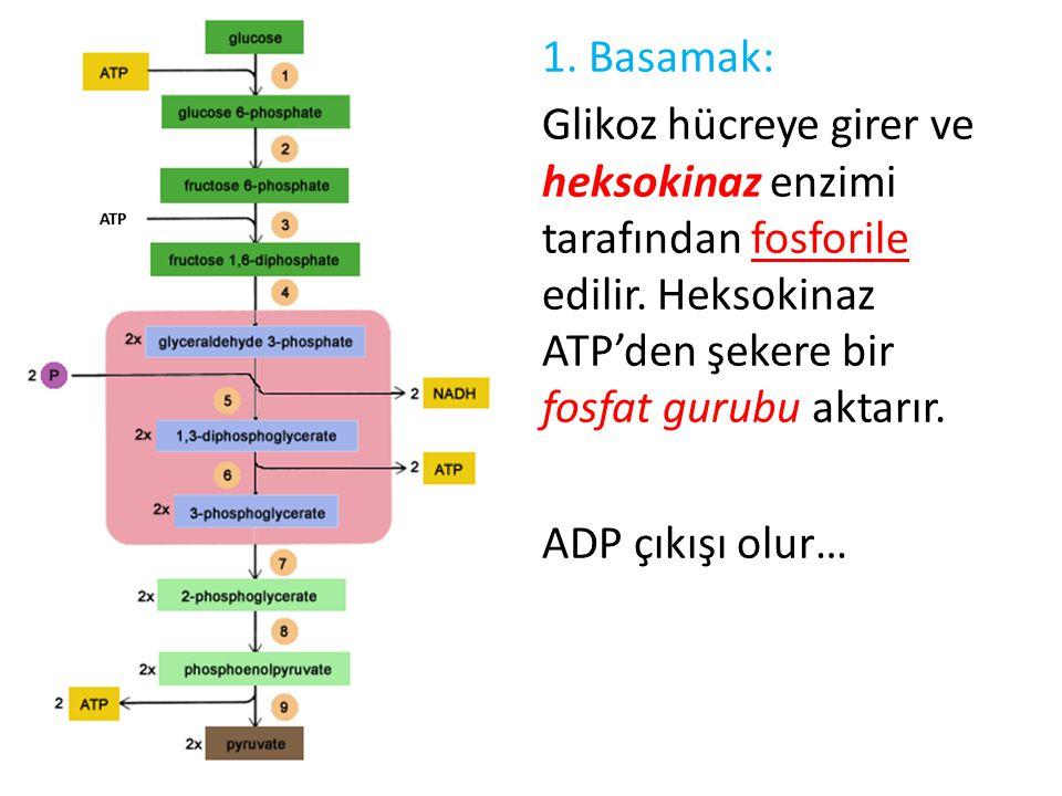 1. Basamak: Glikoz hücreye girer ve heksokinaz enzimi tarafından fosforile edilir. Heksokinaz ATP'den şekere bir fosfat gurubu aktarır. ADP çıkışı olu