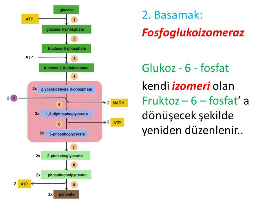2. Basamak: Fosfoglukoizomeraz Glukoz - 6 - fosfat kendi izomeri olan Fruktoz – 6 – fosfat' a dönüşecek şekilde yeniden düzenlenir.. ATP