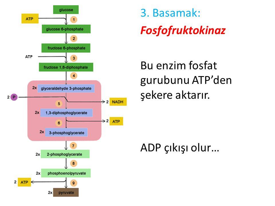 3. Basamak: Fosfofruktokinaz Bu enzim fosfat gurubunu ATP'den şekere aktarır. ADP çıkışı olur… ATP