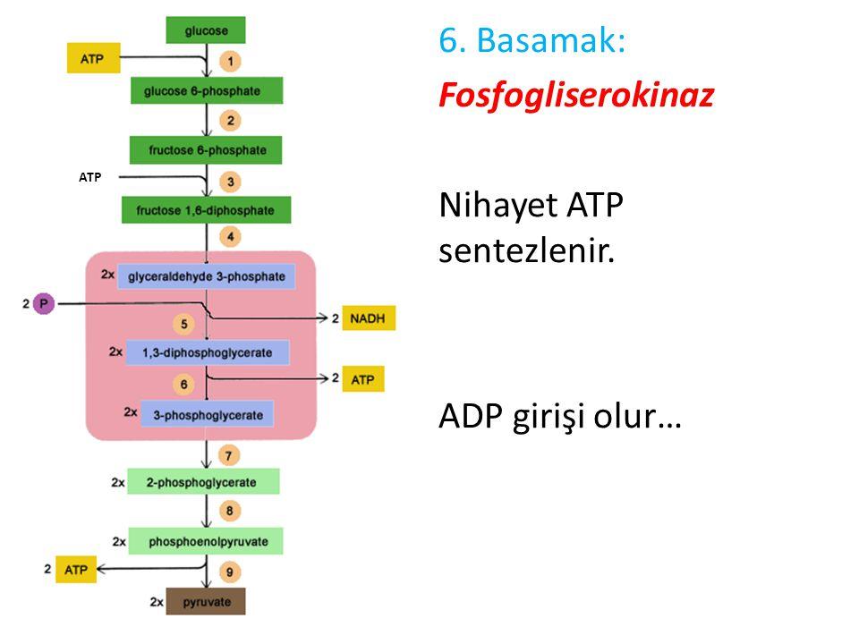 6. Basamak: Fosfogliserokinaz Nihayet ATP sentezlenir. ADP girişi olur… ATP