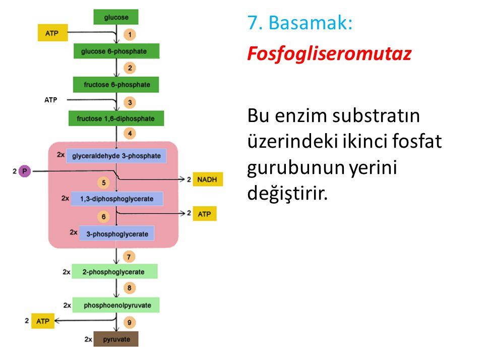 7. Basamak: Fosfogliseromutaz Bu enzim substratın üzerindeki ikinci fosfat gurubunun yerini değiştirir. ATP