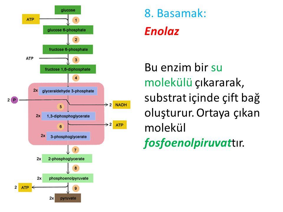 8. Basamak: Enolaz Bu enzim bir su molekülü çıkararak, substrat içinde çift bağ oluşturur. Ortaya çıkan molekül fosfoenolpiruvattır. ATP