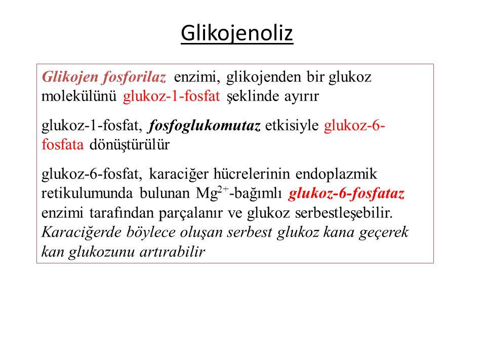 Glikojenoliz Glikojen fosforilaz enzimi, glikojenden bir glukoz molekülünü glukoz-1-fosfat şeklinde ayırır glukoz-1-fosfat, fosfoglukomutaz etkisiyle