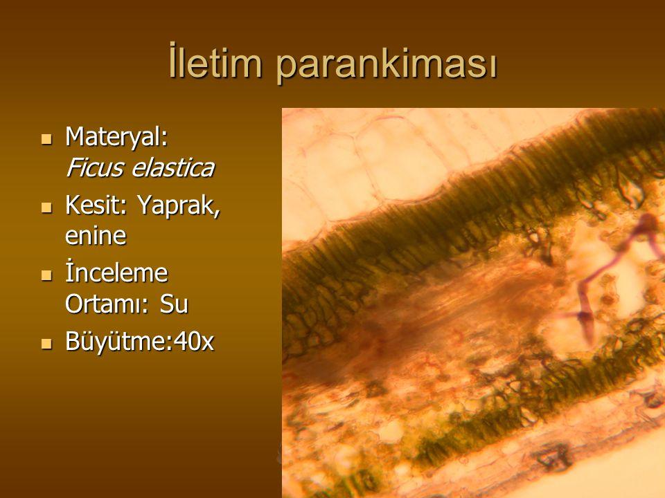 İletim parankiması Materyal: Ficus elastica Materyal: Ficus elastica Kesit: Yaprak, enine Kesit: Yaprak, enine İnceleme Ortamı: Su İnceleme Ortamı: Su