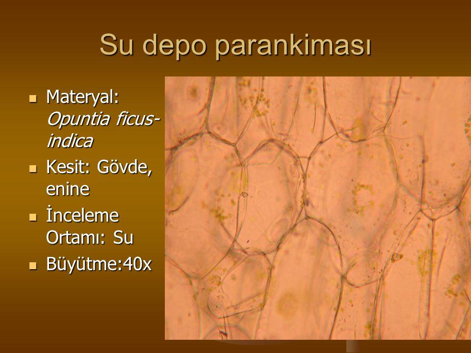 Su depo parankiması Materyal: Opuntia ficus- indica Materyal: Opuntia ficus- indica Kesit: Gövde, enine Kesit: Gövde, enine İnceleme Ortamı: Su İncele